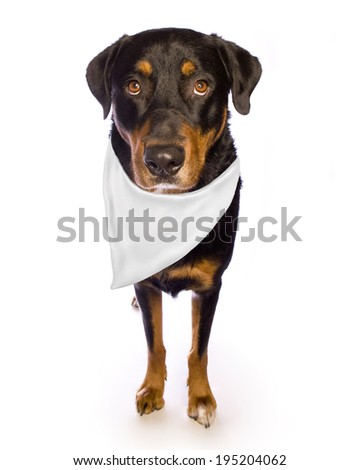 Rottweiler dog isolated on white with white bandana for text