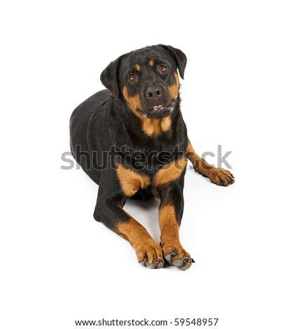 Rottweiler dog laying down and isolated on white - stock photo