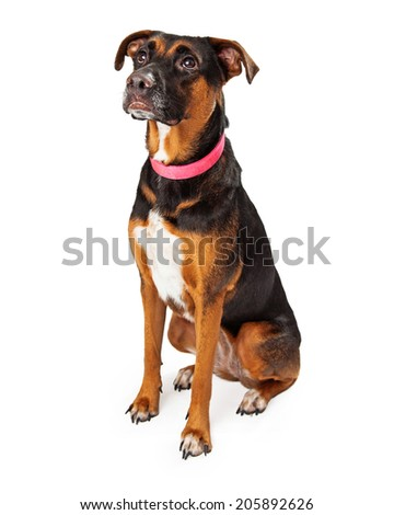 Rottweiler dog mix sitting facing to the side of the camera and looking up                                            - stock photo