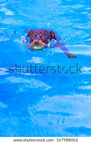 Rottweiler dog swimming in the pool with a ball in the mouth - stock photo
