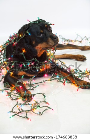 rottweiler dog wrapped in a string of colorful christmas lights - Dog Christmas Lights
