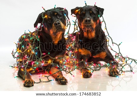 Rottweiler Dogs Wrapped String Colorful Christmas Stock