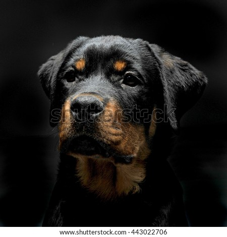 Rottweiler portrait in the black photo studio