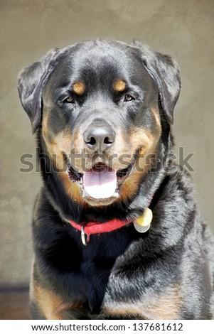 Rottweiler profile portrait - stock photo