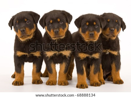 Rottweiler puppies on white - stock photo