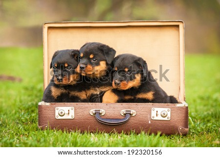 Rottweiler puppies sitting in the suitcase
