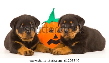 Rottweiler puppies with Halloween pumpkin - stock photo