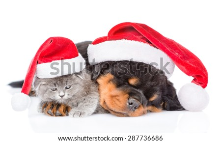 Rottweiler puppy and small kitten in christmas hats lying together. isolated on white background