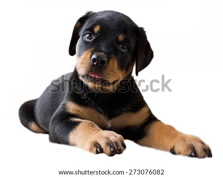 Rottweiler puppy lying and looking suspicious