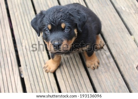 rottweiler dog laying on the sofa dog breeds picture