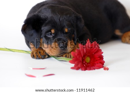 Rottweiler with flower - stock photo
