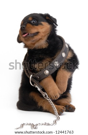 Rottweiller puppy with big collar - stock photo