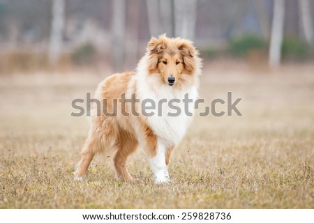 Rough collie dog in spring - stock photo