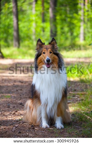 Rough Collie or Scottish Collie in summer forest - stock photo