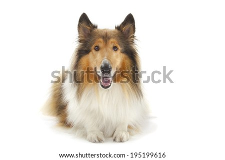 Rough Collie or Scottish Collie isolated over white background - stock photo