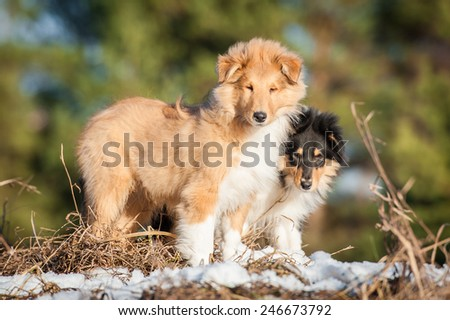 Rough collie puppies on the walk - stock photo