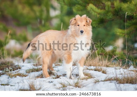 Rough collie puppy walking in the park - stock photo