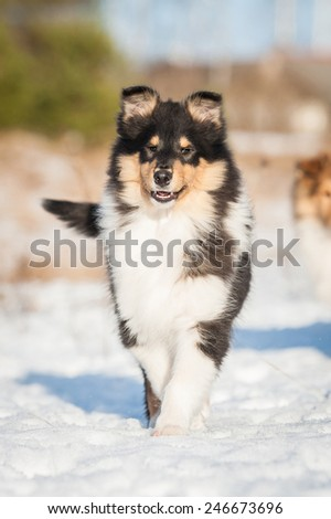 Rough collie puppy walking in winter