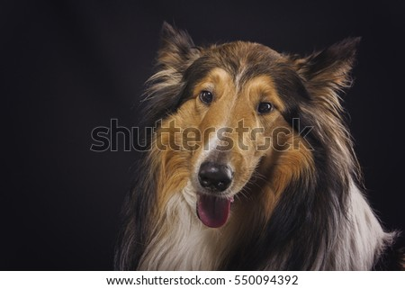 Rough collie Scottish shepherd, lassie, sable color, studio image