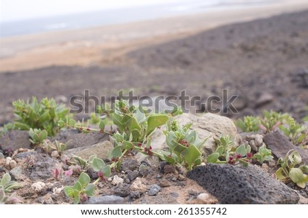 Rough volcanic landscape Fuerteventura - stock photo