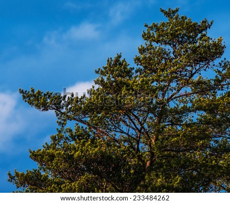 Rough, wind-swept pine tree, with pine cones and partly sunny blue sky background