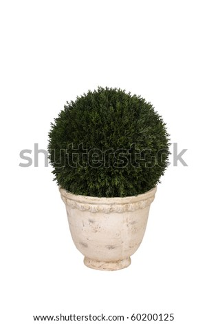 Round bush in pot - stock photo