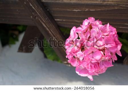 Round pink flower in wooden trellis - stock photo
