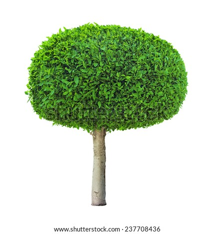 round shaped ficus tree isolated on white background - stock photo