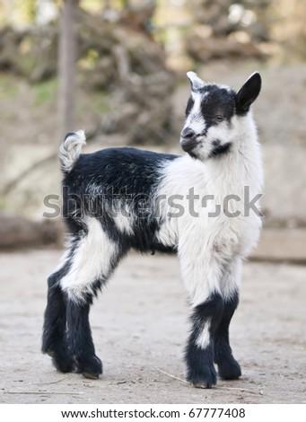 Rove baby goat Kid - stock photo