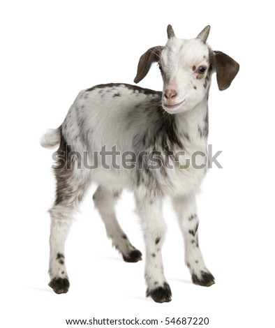 Rove goat Kid, 1 month old, standing in front of white background - stock photo