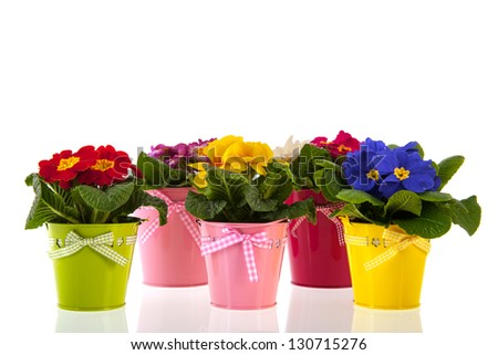 Row colorful Primroses in flower pots isolated over white background