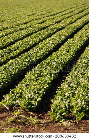 Row crops in California. The future of fields like this are in question due to a devastating drought which has changed the landscape of rural California, making farming impossible for many. - stock photo