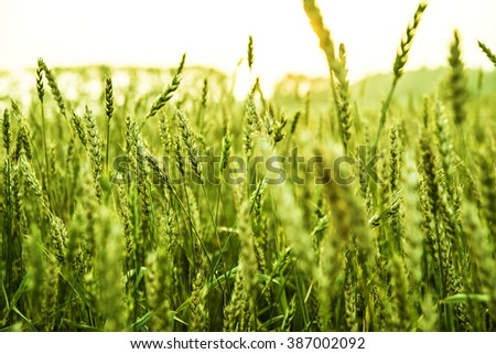 Row food background. Bright sunset over green wheat field. - stock photo