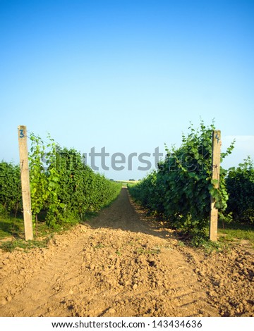 Row in the vineyard at summer - stock photo