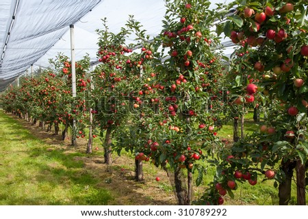 Row of apple trees with ripe fruits in an organic farm - stock photo