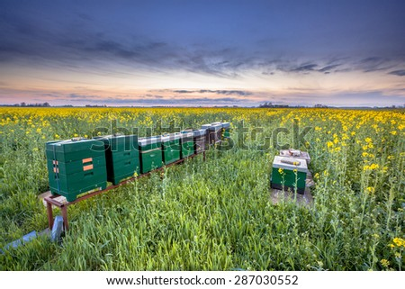Row of Bee hives in a Canola field at sunset near Winschoten in the Province of Groningen, Netherlands - stock photo