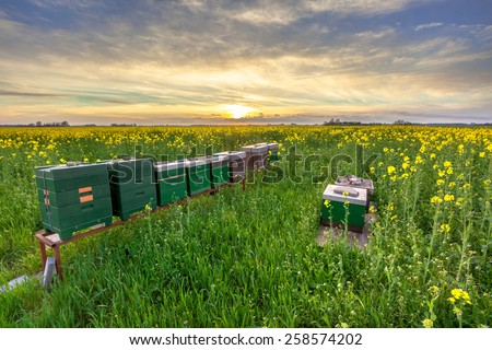 Row of Beehives in a Rapeseed field at sunset in the Province of Groningen, Netherlands - stock photo