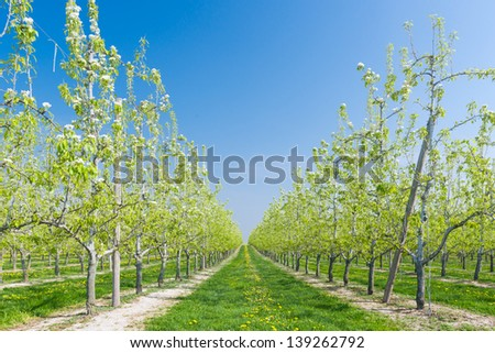 Row of blossoming fruit trees - stock photo