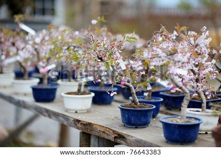 Row of bonsai trees at a japanese garden - stock photo