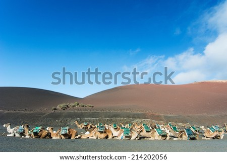 Row of camels at Timanfaya National Park, Lanzarote, Canary Islands, Spain. - stock photo