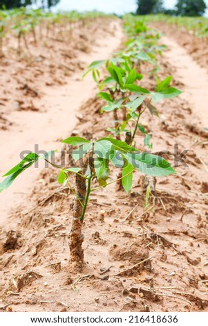 row of cassava tree in Thailand - stock photo