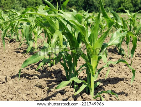 Row of corn on agricultural field - stock photo
