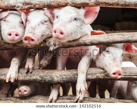 Row of curious young pigs in a wooden stable - stock photo