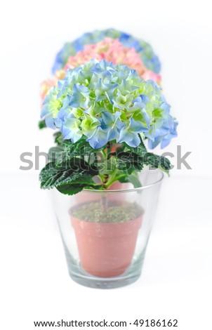row of dwarf spring hydrangea in glass pots - stock photo