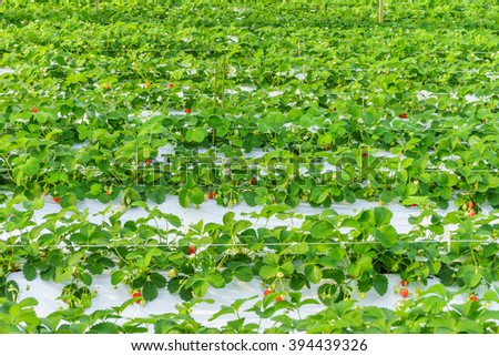 Row of indoor strawberry field in Japan. It is planted  using the plasticulture method. - stock photo