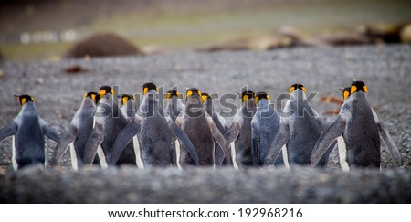 Row of king penguins from back - stock photo