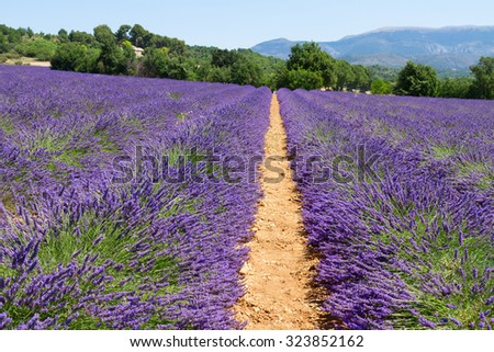 row of lavender field with summer blue sky, France - stock photo