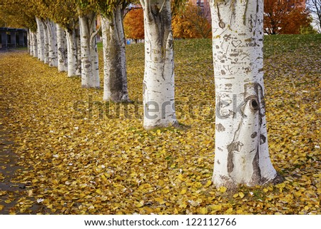 Row of poplars in autumn. Castilla y Leon, Spain.