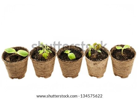 Row of potted seedlings growing in biodegradable peat moss pots isolated on white background - stock photo