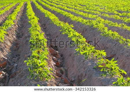 Row of small cassava tree growing in farm